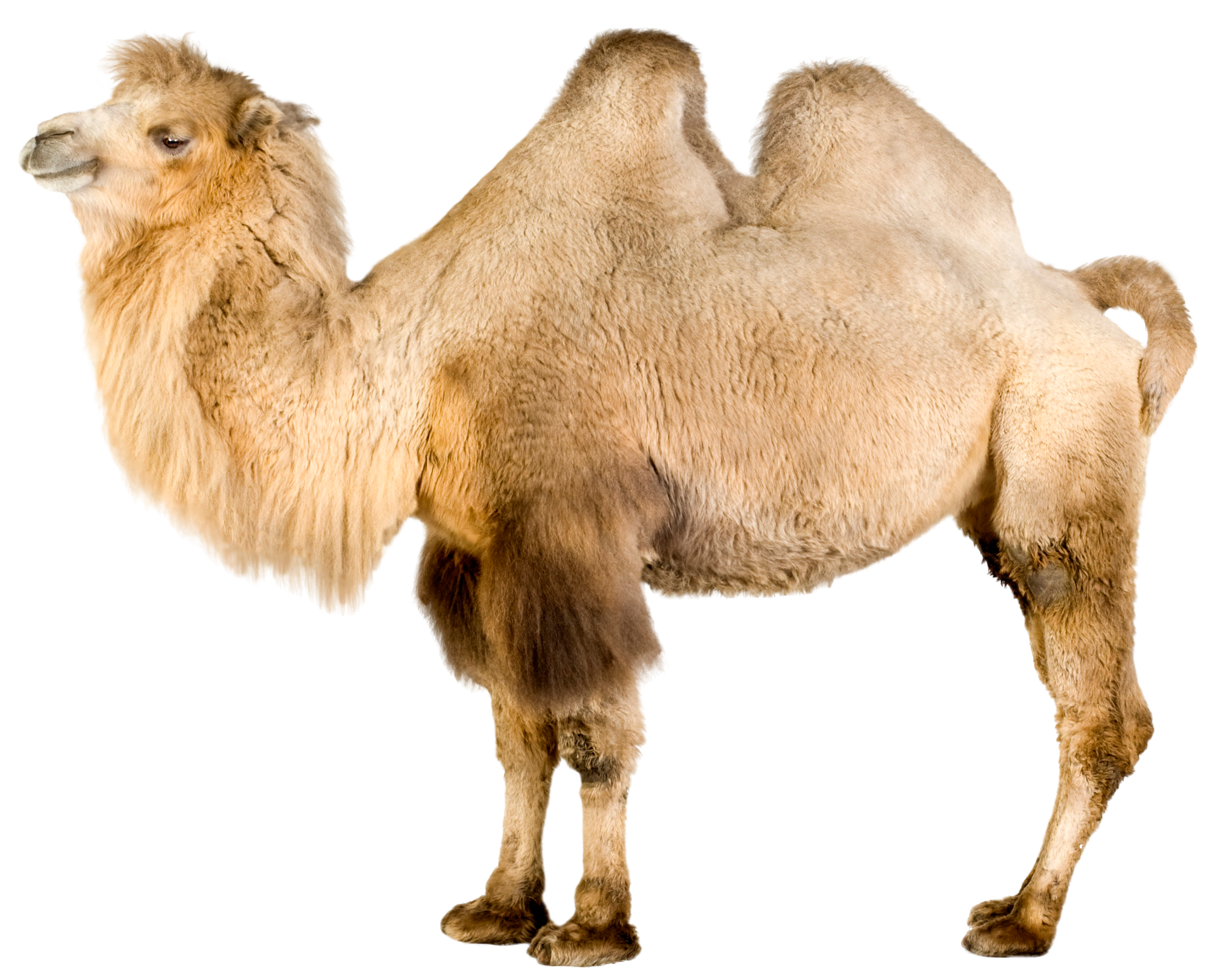 Camel PNG Clip Art.