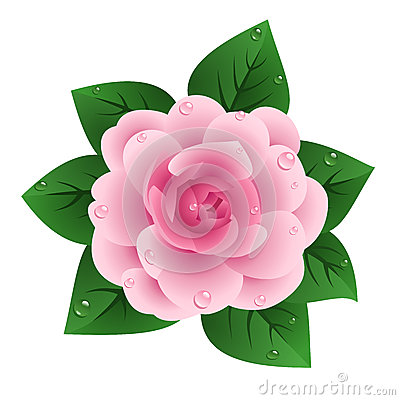 Camellia Stock Illustrations.