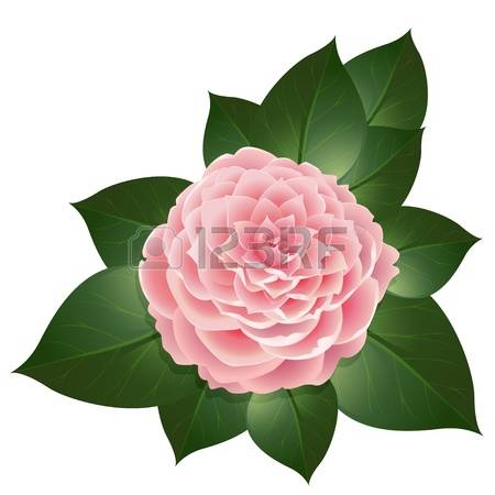 1,353 Camellia Cliparts, Stock Vector And Royalty Free Camellia.