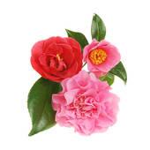 Stock Photo of Camellia Flower u24949452.