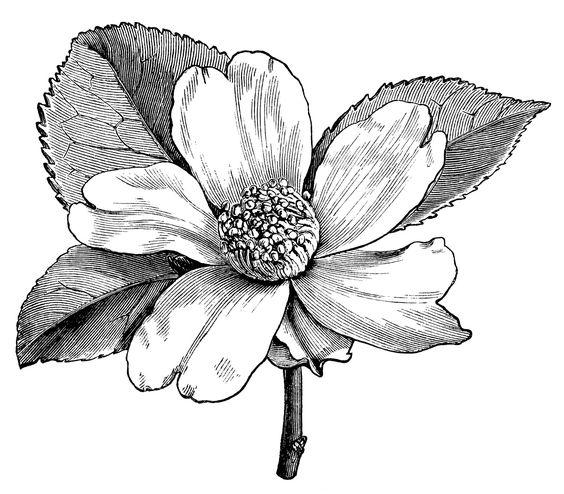Camellia oleifera, camellia flower illustration, black and white.