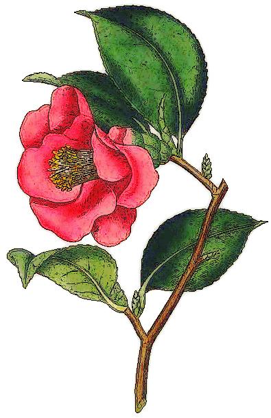 Camellia Clip Art Download.