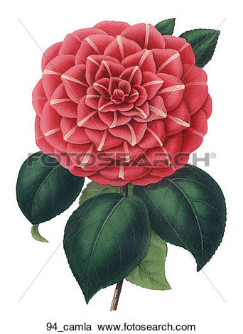 Camelia Clipart and Stock Illustrations. 15 camelia vector EPS.