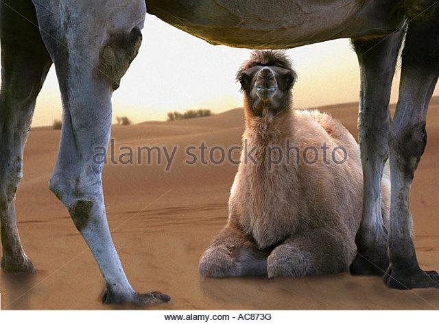 Camel Cub Stock Photos & Camel Cub Stock Images.