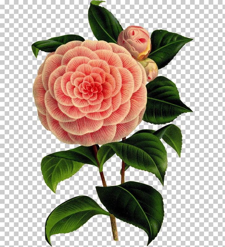 Camellia Flower Botany Art Floral design, flower PNG clipart.