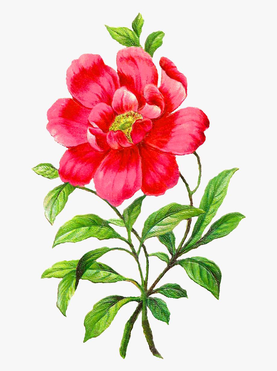 Peony Clipart Botanical Illustration.