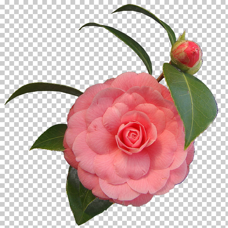 Cut flowers .net Japanese camellia, flower PNG clipart.