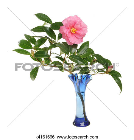 Stock Images of Camellia flower and buds in a glass vase k4161666.