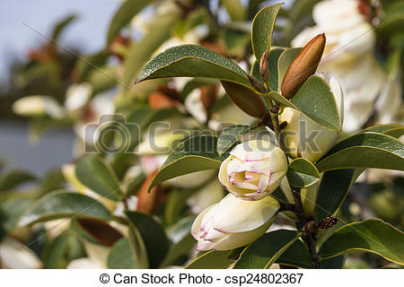 Stock Image of yellow camellia buds.
