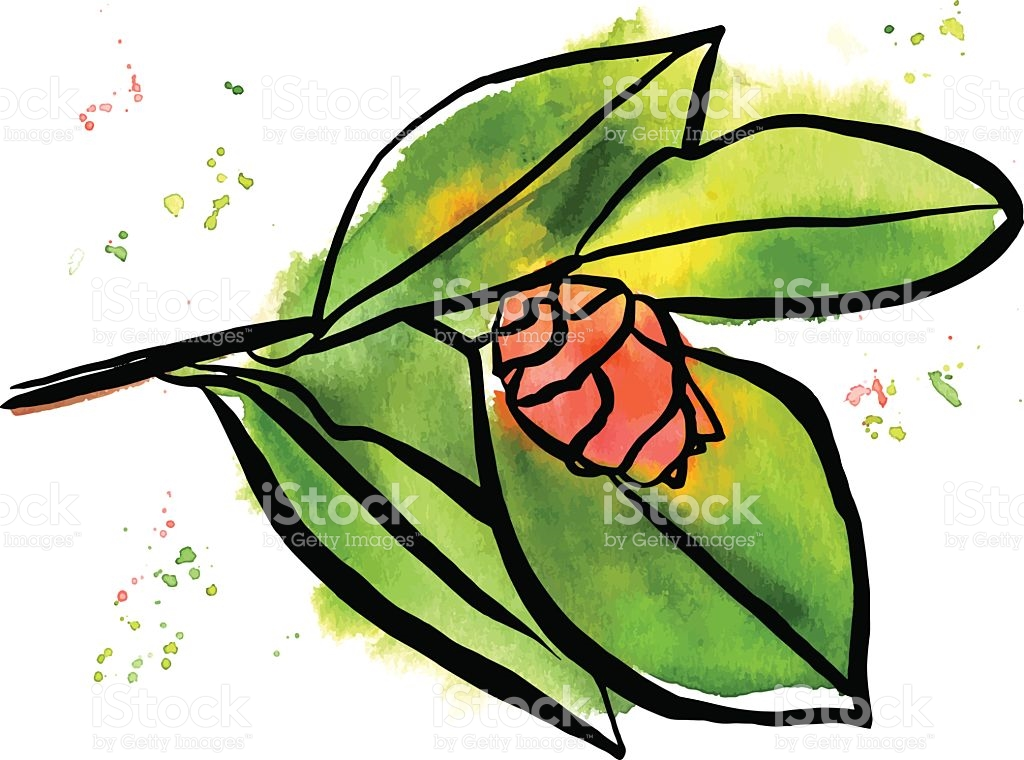 Freehand Vector And Watercolor Drawing Of Pink Camellia Bud stock.
