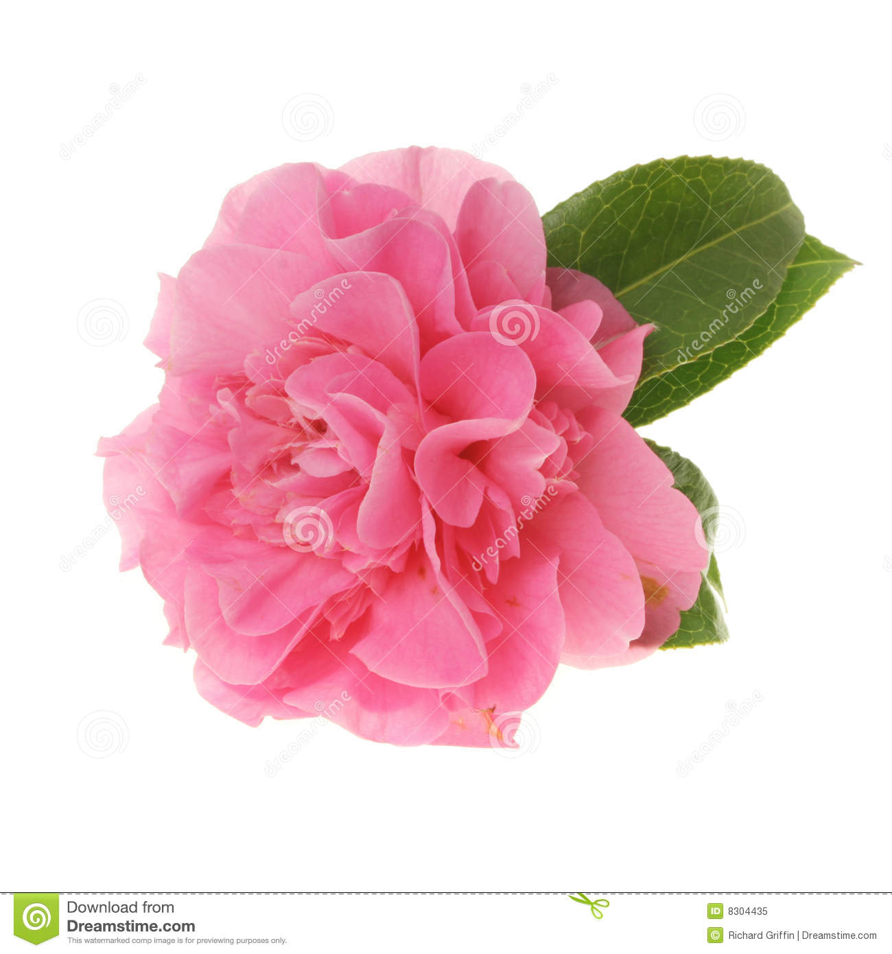 Pink Camellia Royalty Free Stock Photo.
