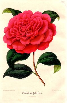 Botanical print. Camellia japonica tricolor probably a painting by.