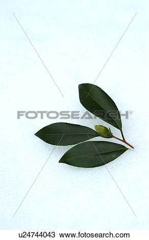 Stock Photo of Bud of camellia on snow u24744043.