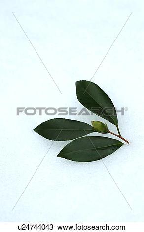 Stock Photo of Bud of camellia on snow u24744043.