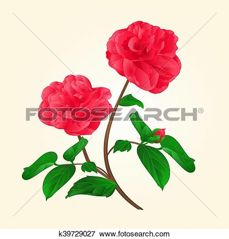 Clip Art of Camellia Japonica flowers with bud vintage vektor.