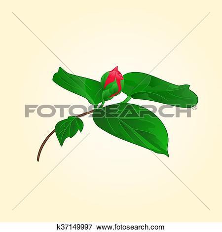Clip Art of Camellia japonica flower bud vector.eps k37149997.