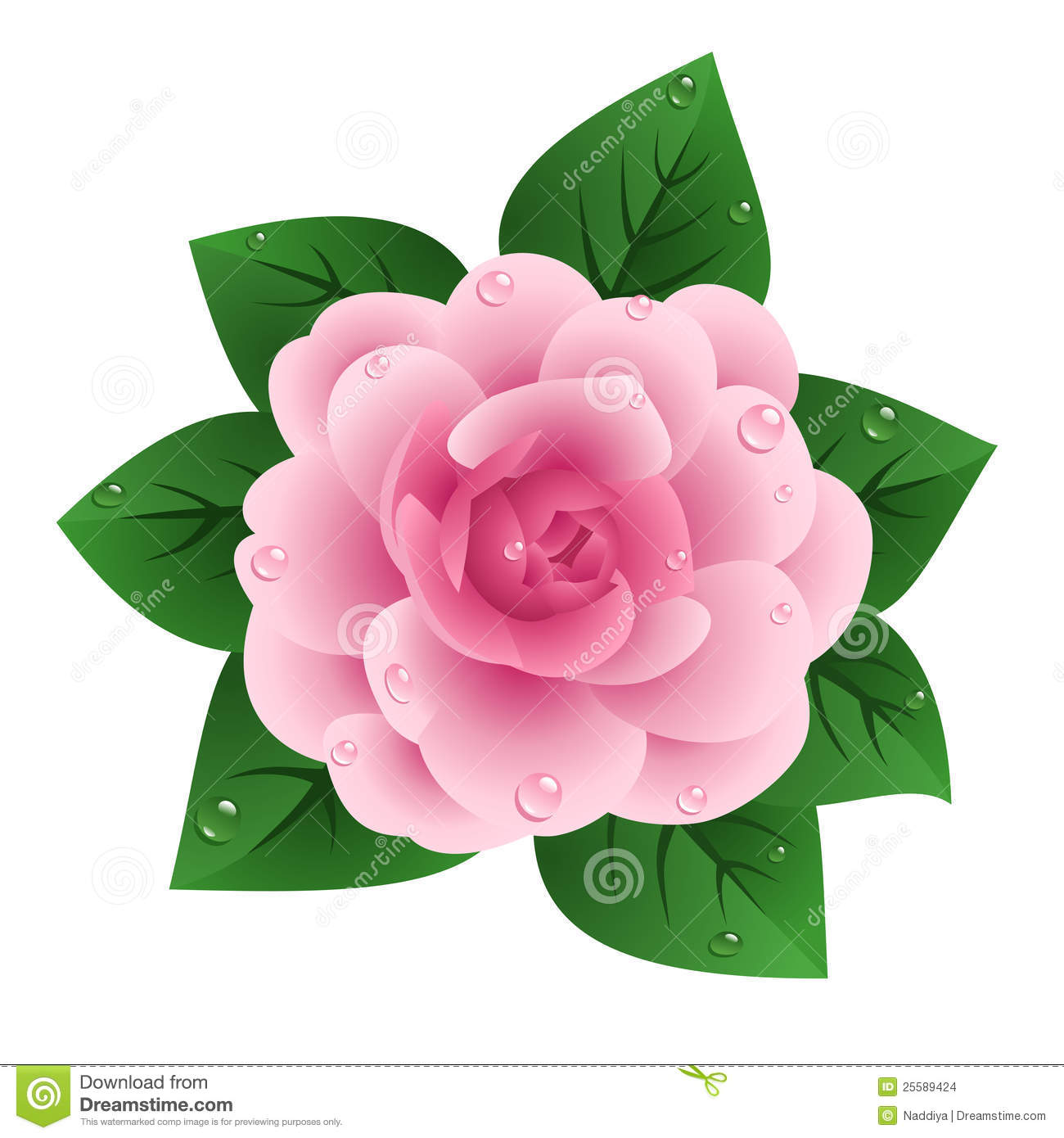 Camellia Stock Illustrations.