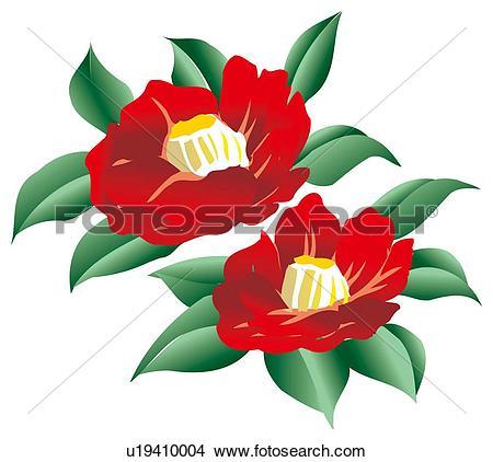 Drawings of Blooms of flowered camellia u19410004.