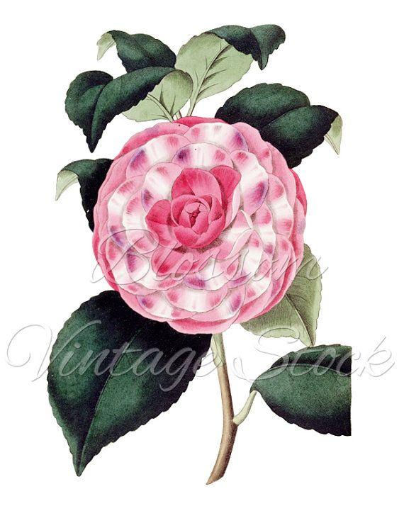 Camellia Clipart,Pink Flower PNG Digital Image, Vintage Flower.