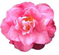 camellia clipart, lge 15cm.