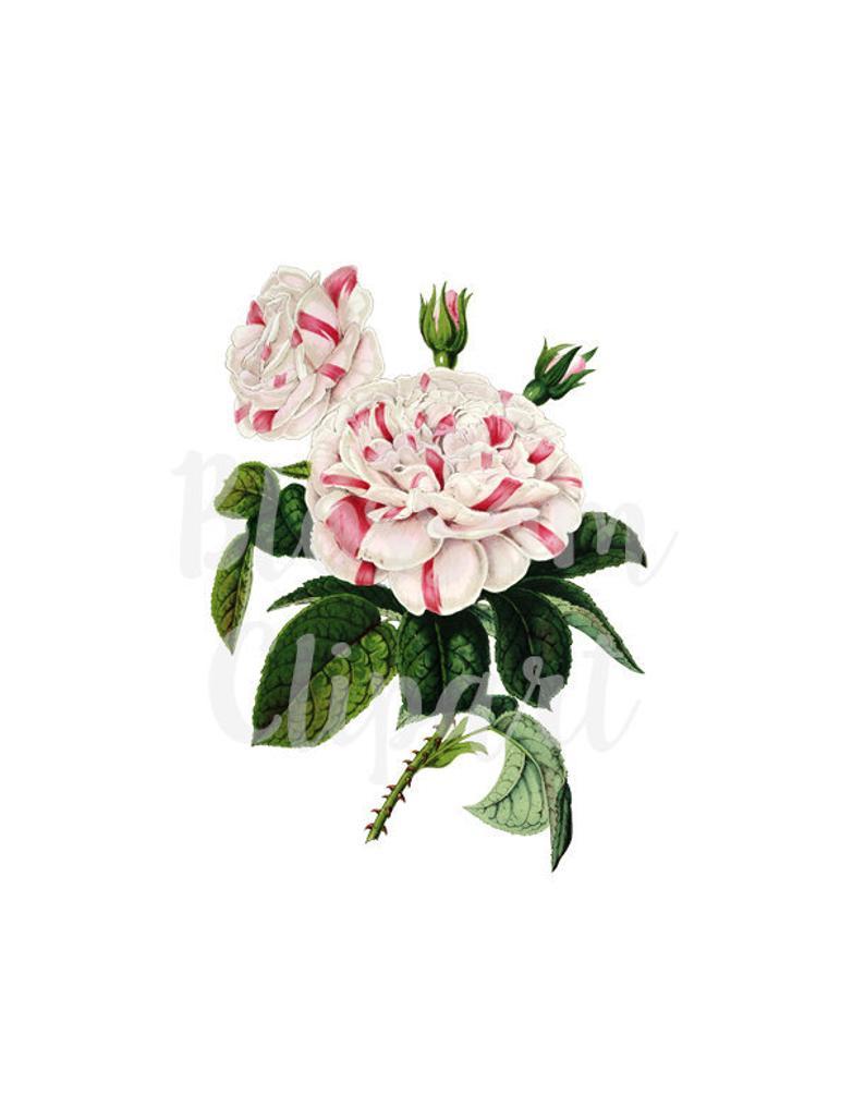 Camellia Flower Clip Art Digital Download for wedding invitations, digital  artwork, prints.