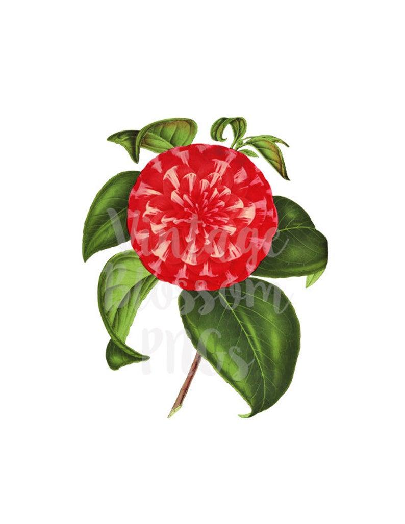 Camellia Flower Clip Art, Vintage Graphic, Flowers Clipart for Digital  Artwork, Invitations, scrapbook, collage, prints.