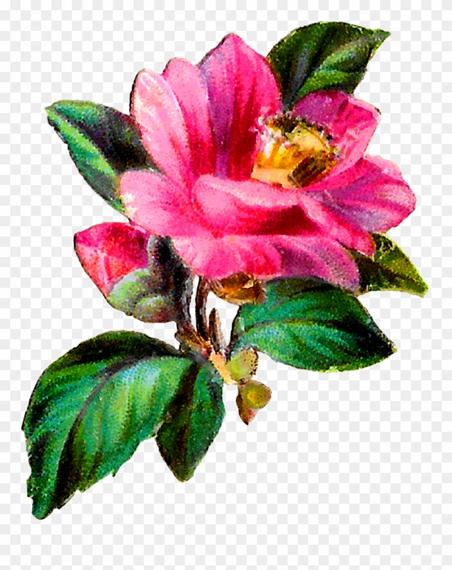 Camellia Flower Botanical Art Clipart Craft Download.
