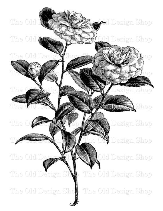 Flower Clip Art Camellia Japonica Winter Rose Illustration Printable.