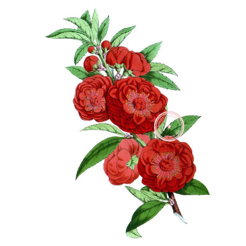 Red Camellia Flower Clip Art.