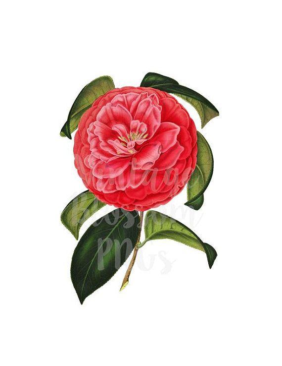 Digital Download Vintage Image, Camellia Flower Clip Art.