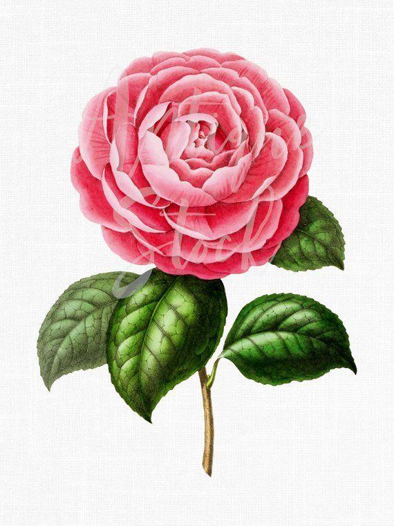 Pink Flower Clipart, Botanical Illustration, Digital.