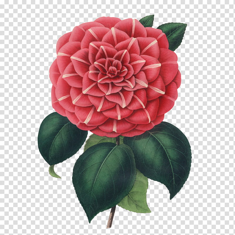 Flower, red camellia flower transparent background PNG.