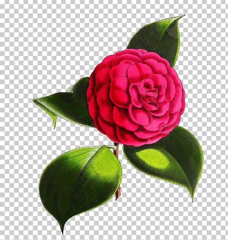 Garden Roses Japanese Camellia Flower Red Cabbage Rose PNG.