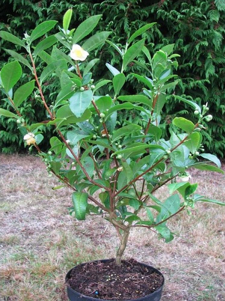 Plants & Flowers » Camellia sinensis.