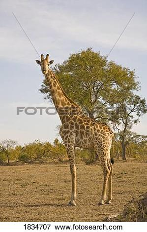 Picture of Giraffe (Giraffa camelopardalis), Arathusa Safari Lodge.