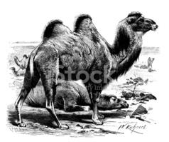 Antique Illustration of Bactrian Camel (camelus Bactrianus) stock.