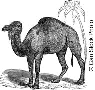 Vector Clipart of Bactrian camel or Camelus bactrianus vintage.