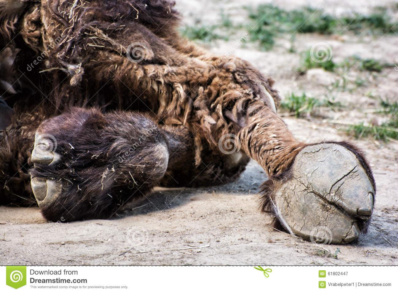 Bactrian Camel's Hoof Detail (Camelus Bactrianus), Animal Theme.