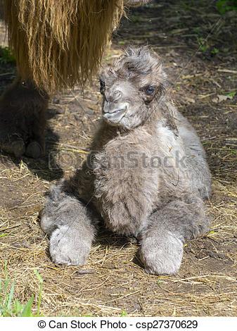 Stock Photo of Newborn Bactrian camel (Camelus bactrianus.