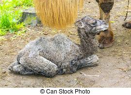 Stock Photographs of Newborn Bactrian camel (Camelus bactrianus.