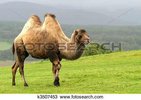 Stock Photo of Bactrian Camel.