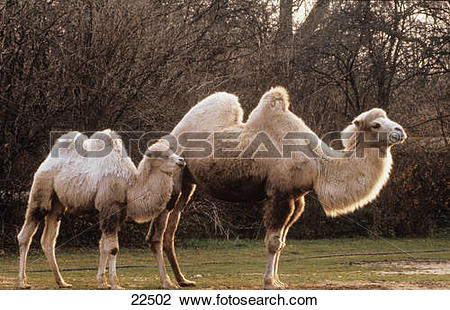 Stock Photo of camelus bactrianus bactrian camel , two.