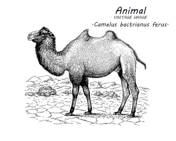 Camel clip art Digital vintage art Stock image Animal illustration.