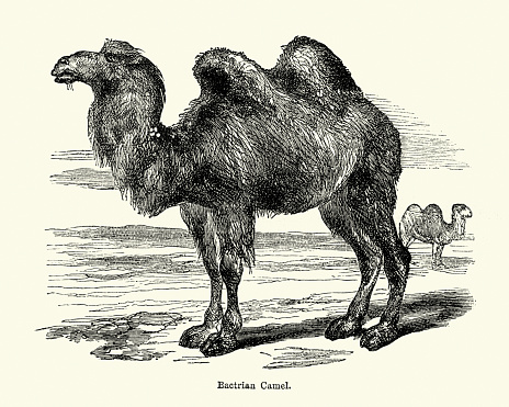 The Wild Bactrian Camel Clip Art, Vector Images & Illustrations.