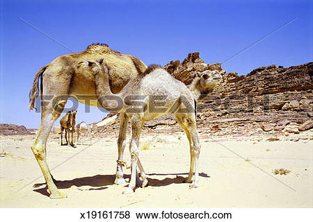 Pictures of Egypt, camels (Camelus dromedarius sp.) with calves in.