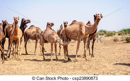 Picture of Herd of Indian Camels, Camelus dromedarius, in deserts.