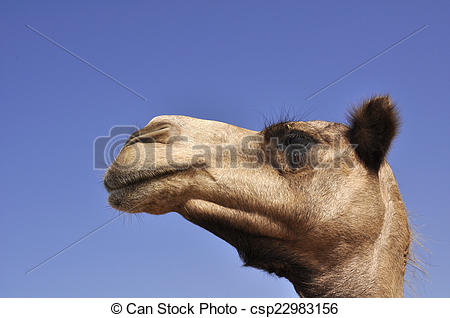 Stock Images of Arabian camel (Camelus dromedarius).