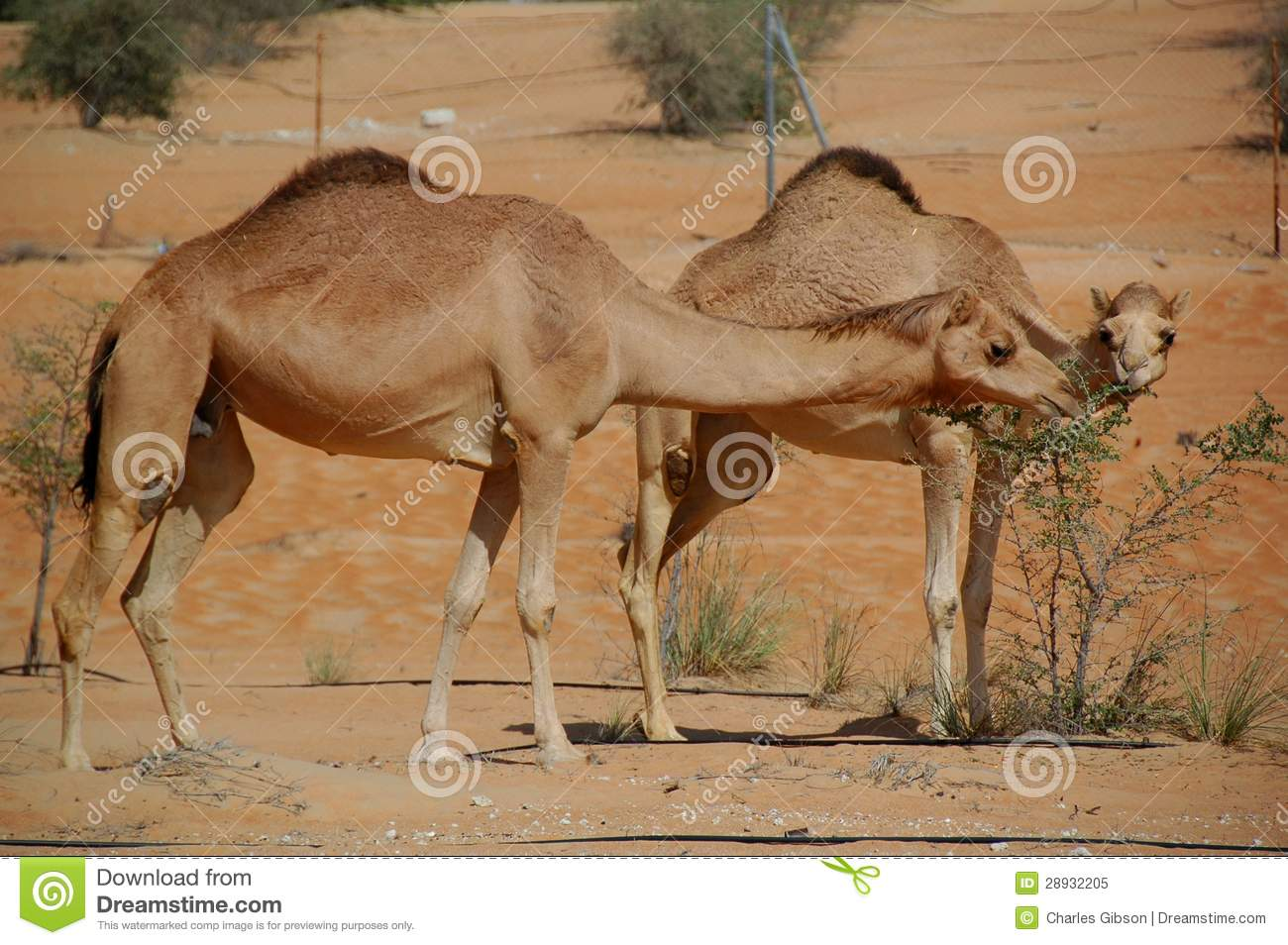Camel, Arabian (Camelus Dromedarius) Royalty Free Stock Photo.