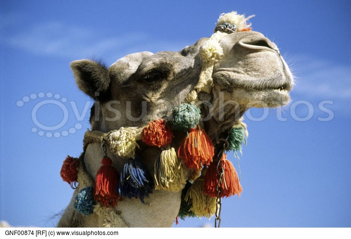 Camel (Camelus Dromedarius) In The Najd Desert Of Saudi Arabia.