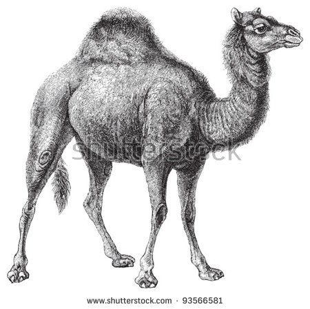 Vector Images, Illustrations and Cliparts: Dromedary (Camelus.